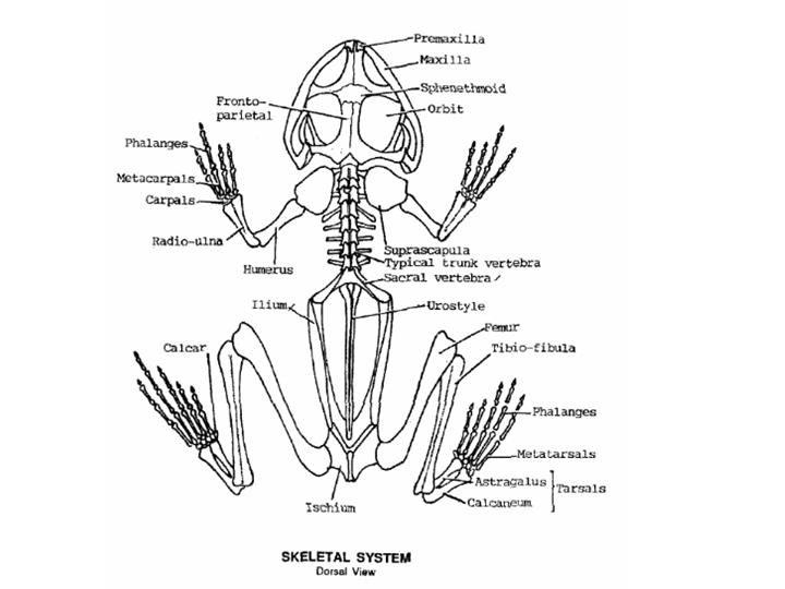 Gambar Internal Structure Of A Frog Haci Saecsa Co Jpeg Png Gif ...