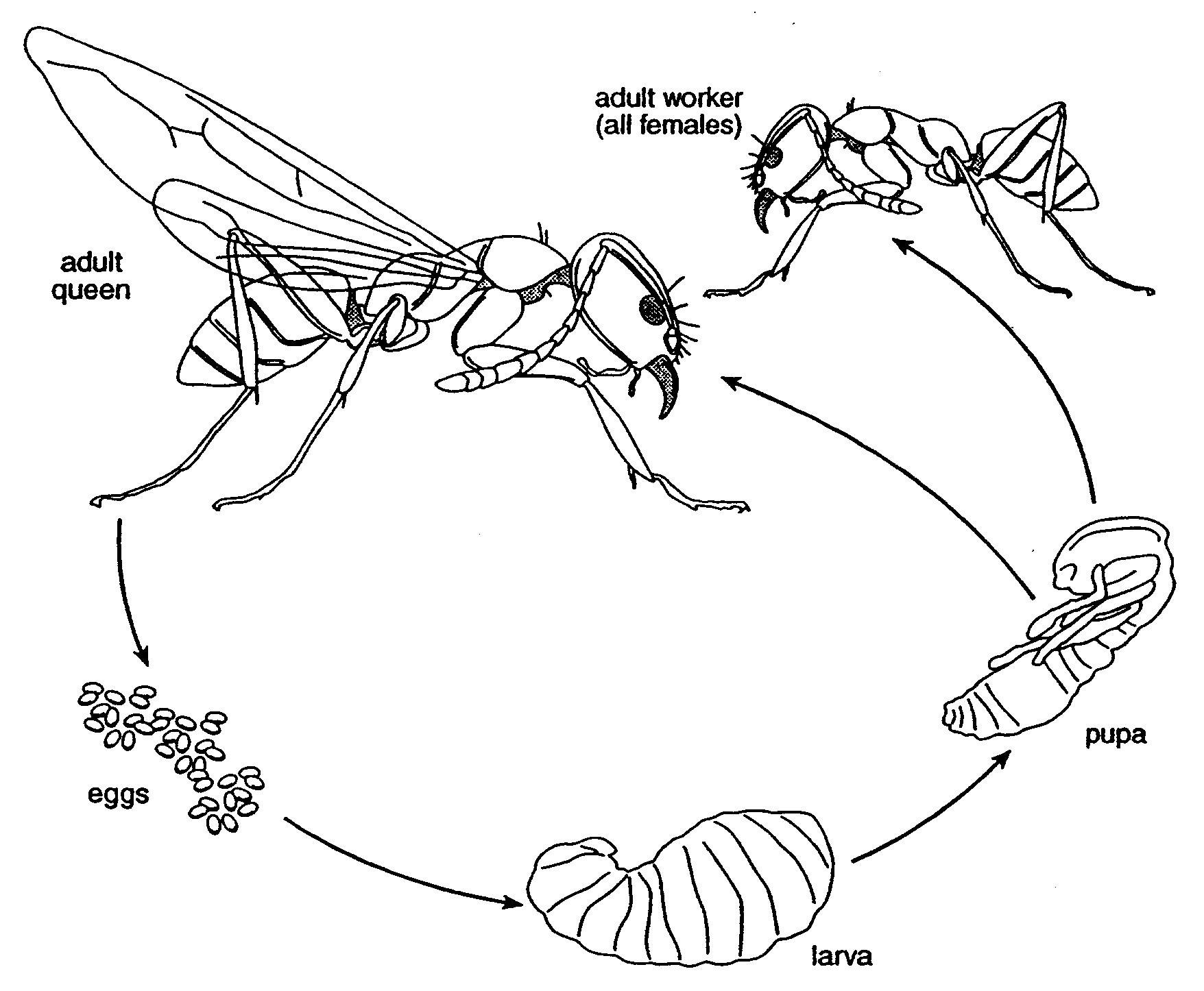 Bulldog Ant Myrmecia