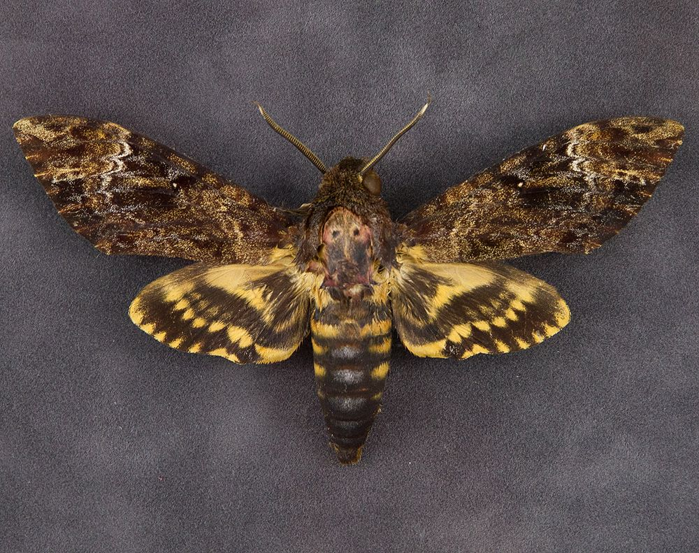 Death Head Moth Death S Head Hawkmoth Facts Diet Pictures
