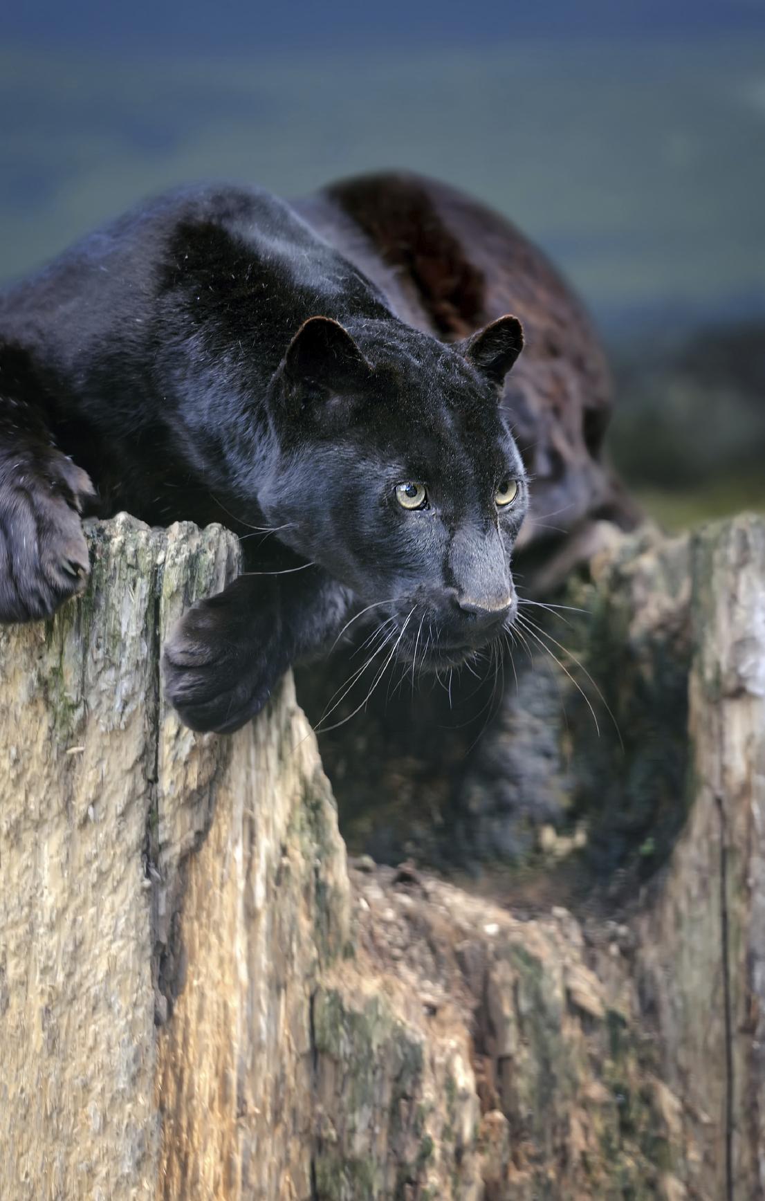Saving Their Skin: Malay Peninsula's Rare Black Leopards ... - photo#11