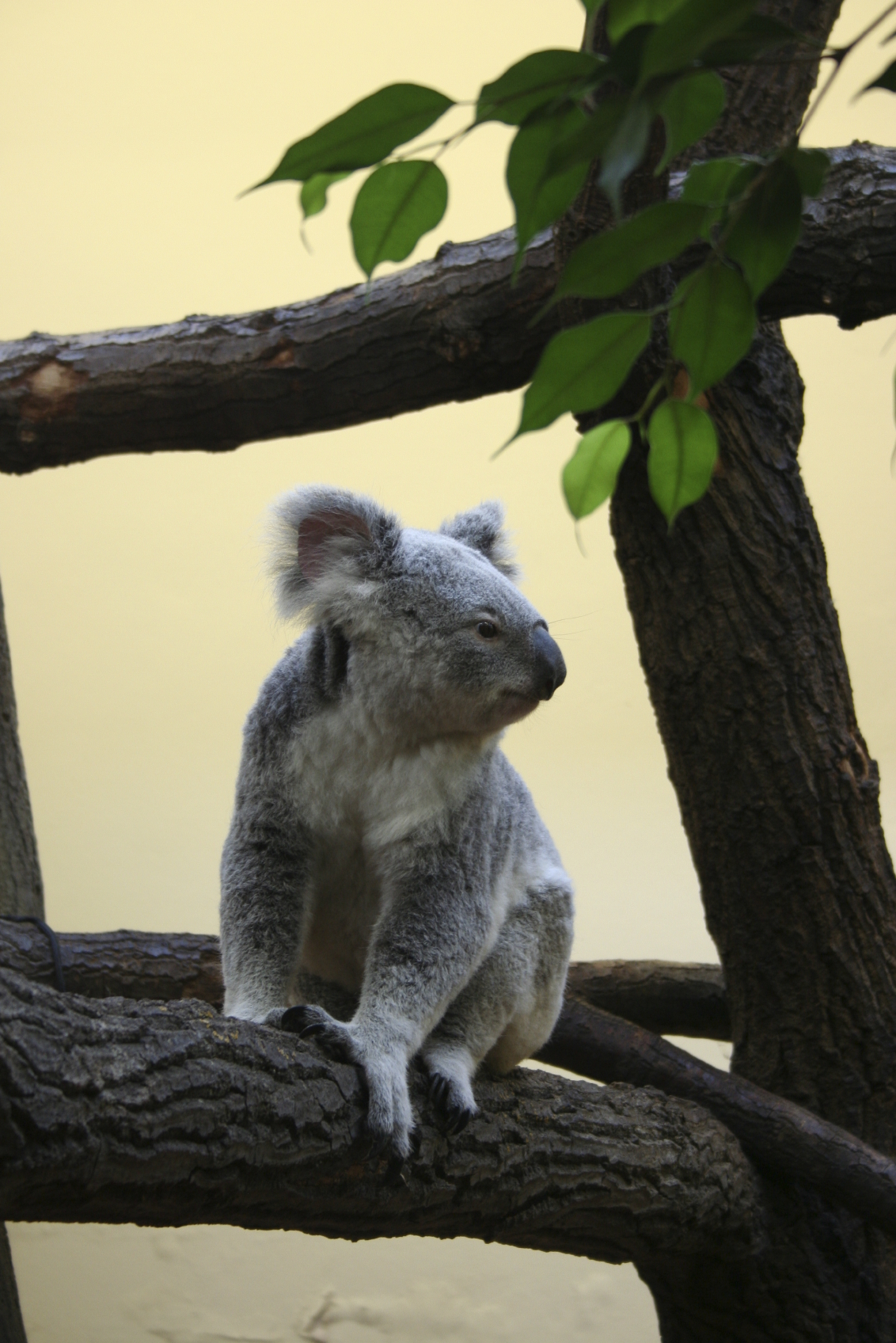 Slow Down! It's Koala Breeding Season | ANIMAL VOGUE