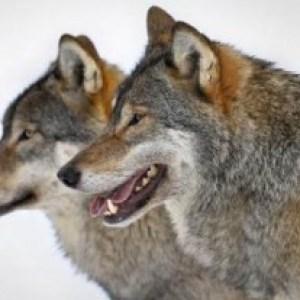 Gospodării atacate de LUPI. Câinii sătenilor nu au avut nicio șansă în fața sălbăticiunilor
