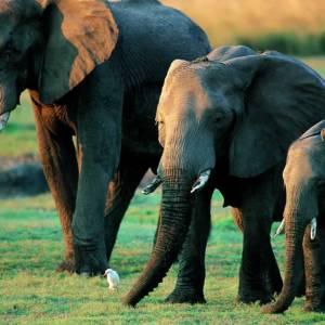 """Fericire artificială pentru elefanți. Medic veterinar: """"Este o încercare de a găsi o alternativă naturală"""""""