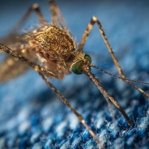 Cercetătorii SUNT ULUIȚI: Vaccinul împotriva unui virus mortal transmis de țânțari, eficient contra COVID-19