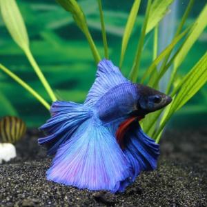 Cu peștele la plimbare, provocarea unei companii japoneze