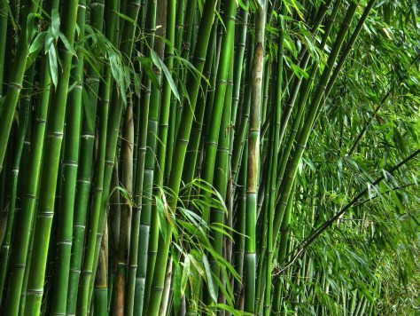 Green-bamboo-grove