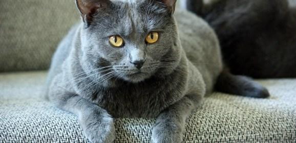 Pourquoi ne pas accueillir un chat Chartreux ?
