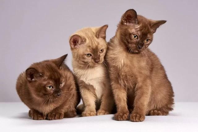 Le diabète chez les chats et autres félins