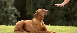 En Corse, les chiens entraînés à détecter le Covid-19