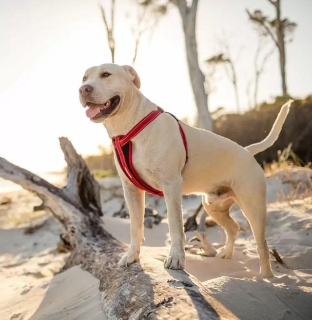 Les qualités d'un collier martingale de dressage pour chien
