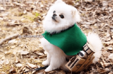 Attack on Pomeranian 004