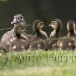 Mandarin and ducklings - img_0062-1.jpg