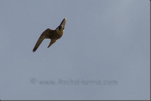 IMG_0374_Peregrine Falcon, - Kealia Ponds, Mauiw