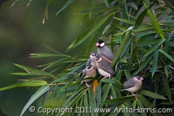 Parent Java Sparrow and its newly fledged offspring