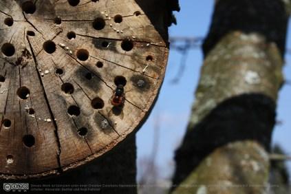 Eine Mauerbienendrohne sucht Weibchen am Bienenhotel