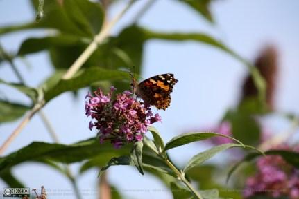 Ein Distelfalter auf Schmetterlingsflieder