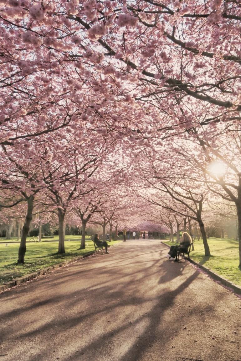 Japanske kirsebærtræer på Bispebjerg kirkegård