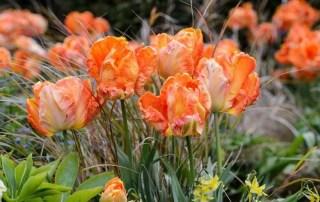 Vibrant Spring Tulips, Ann-Marie Powell Gardens