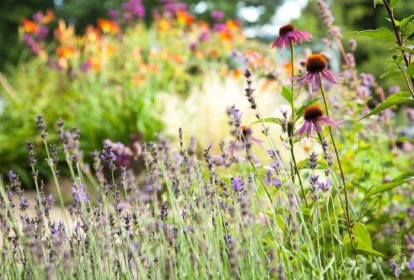 Echinacea and lavender planting