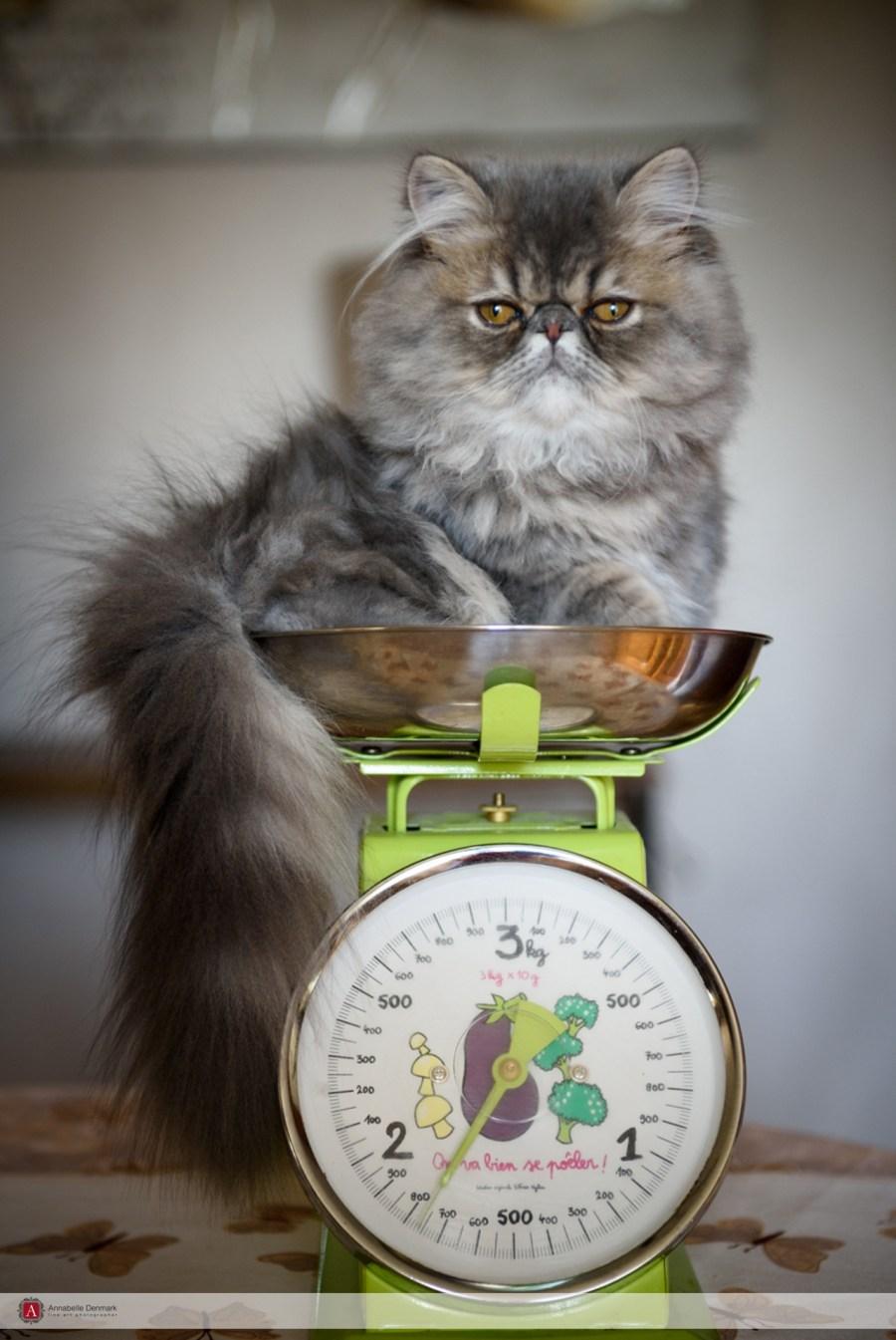 "Topaz of ""Grumpy cat"" posing for me"