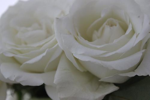 rosepetal 005a