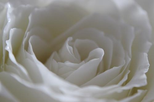 rosepetal 009a