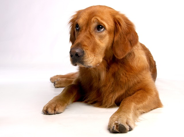golden-retriever-642016_640