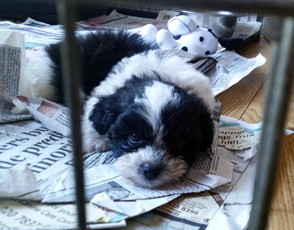 puppies shih poo