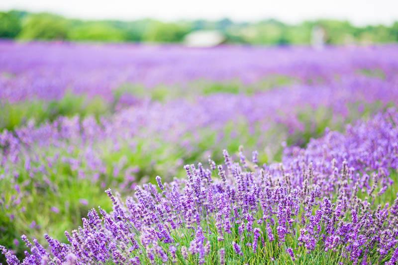lavender field summer denim look