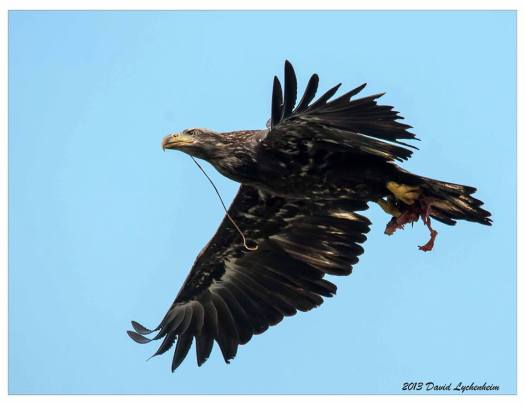 Juvenile bald eagle holding fishing gear in its mouth at Conowingo. Photo by David Lychenheim.