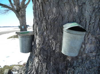 Borden - Maple syrup pails tapped into the tree