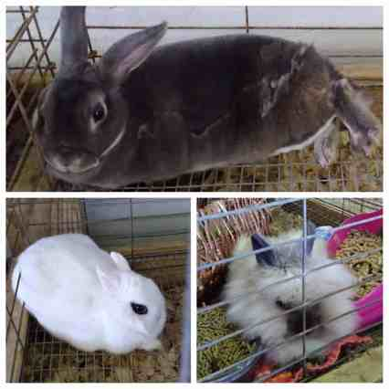 4-h-county-fair-rabbits