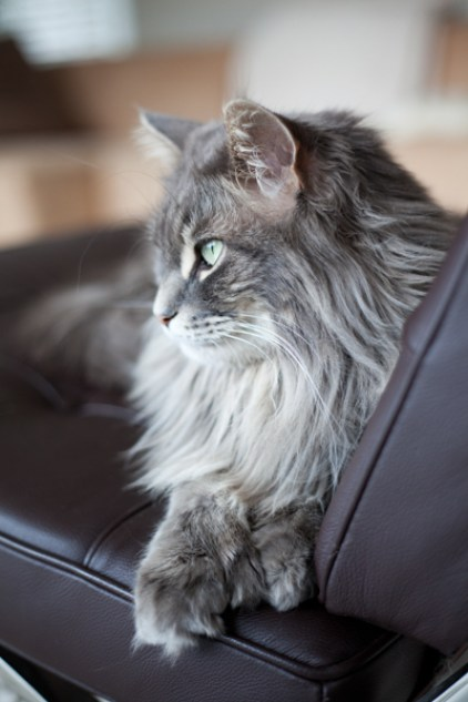 Bikkel-Amsterdam-Cat-pet-portrait-Ann Charlotte Photography@2016-3