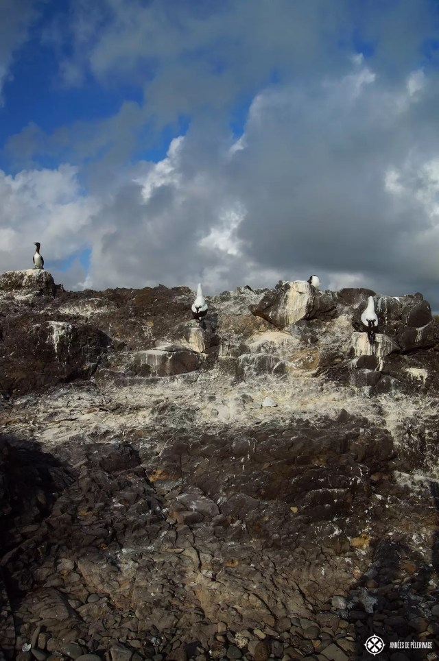 The nests of the Nazco booby on the Galápagos Islands in Ecuador