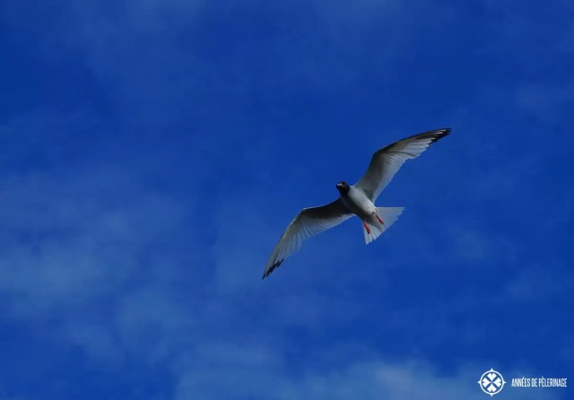 A swallow-tailed gull in flight on the Galápagos Islands