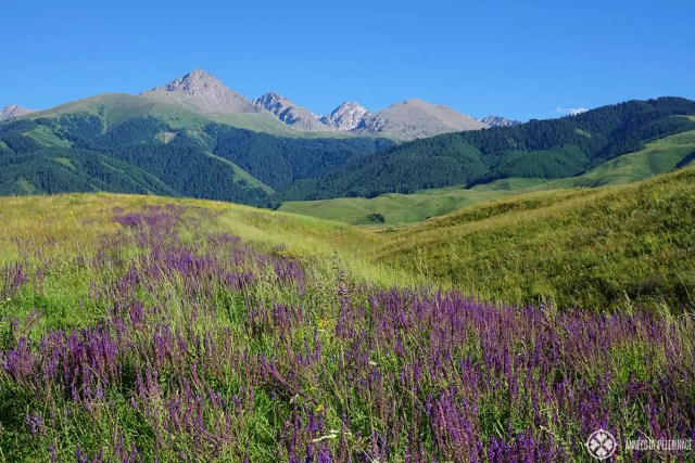High alpine mountains with wild lavender in the foreground. Kyrgyzstan at its best.