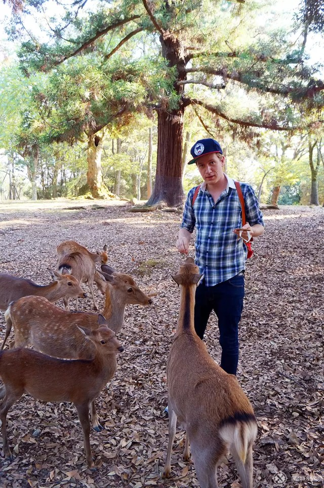 Feeding tame deer in Nara Park, Japan - one of the many things to do in Nara