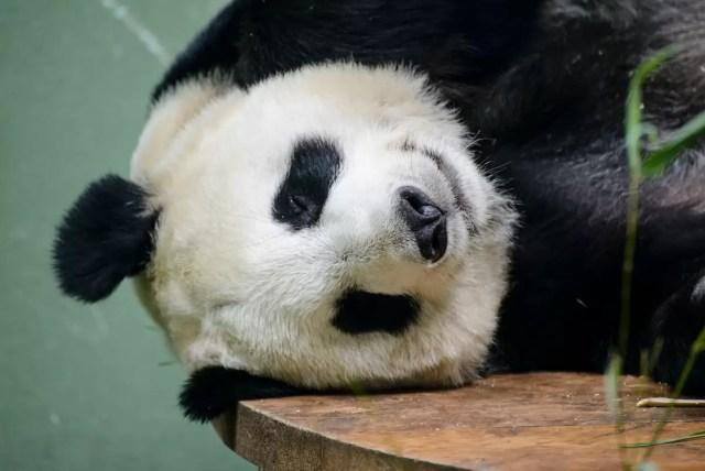 A giant panda taking a nap at Edinburgh zoo