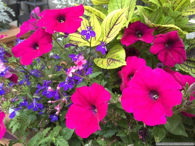Anne Roberts Gardens AnneRobertsGardensIMG_2330