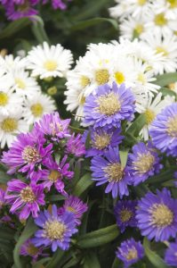 Anne Roberts Gardens Premier-landscaping-tip_-asters-199x300