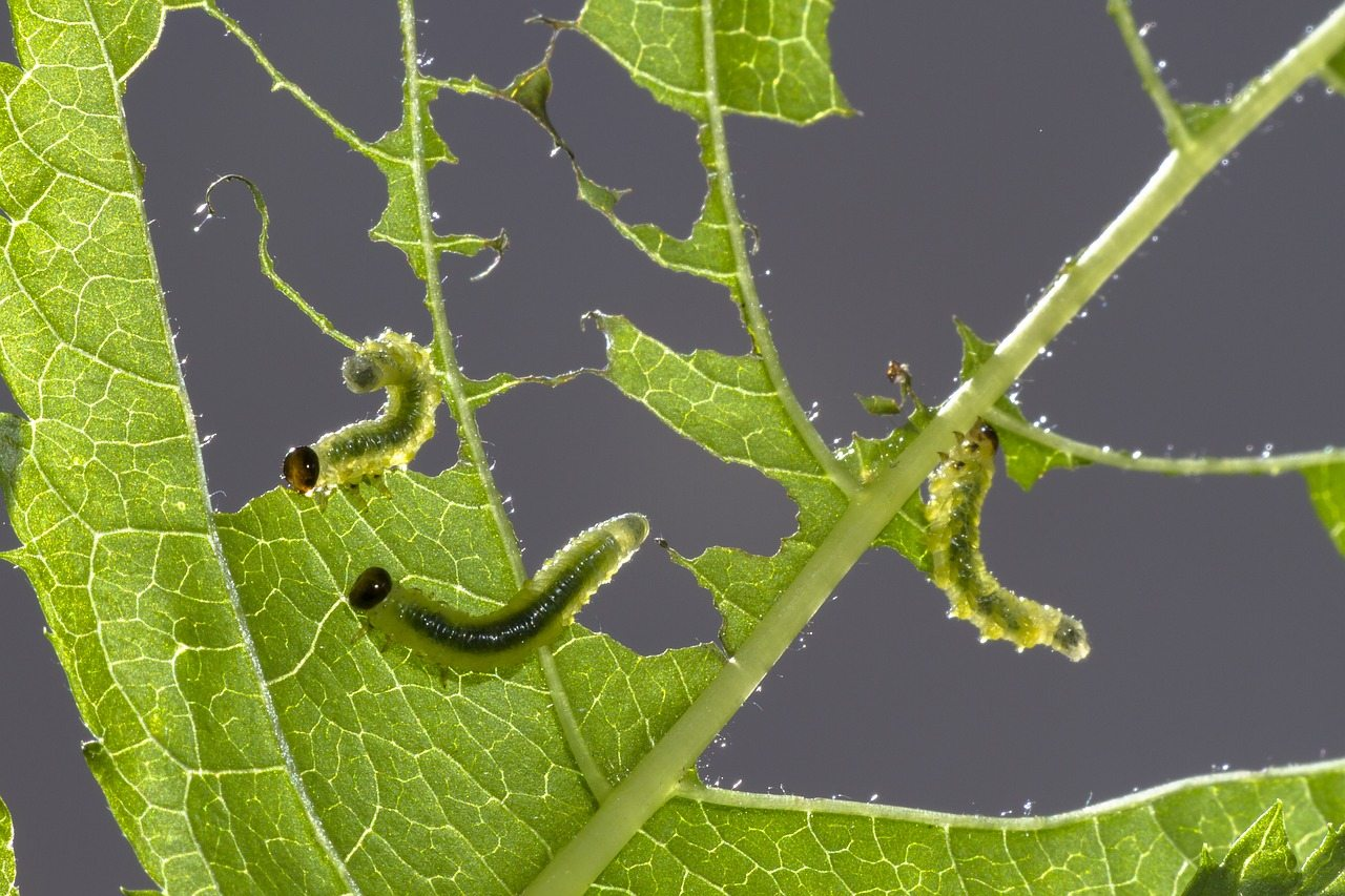 Anne Roberts Gardens bad-caterpillars-5