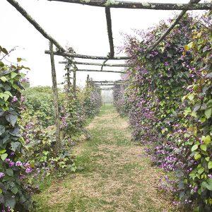 Anne Roberts Gardens hyacinth-bean-seeds-dolichos-lablab-202-300x300