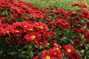 Anne Roberts Gardens premier-landscaping-tips_chrysanthemums-300x200