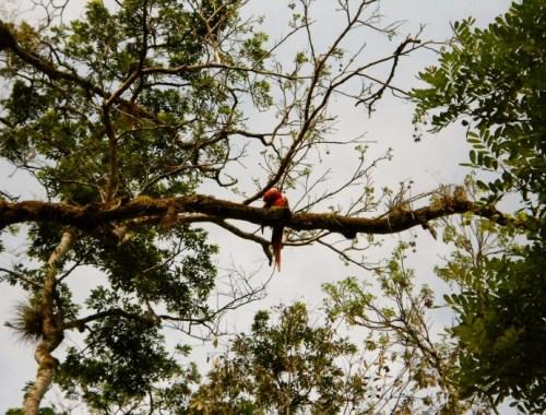 Honduras_parrot