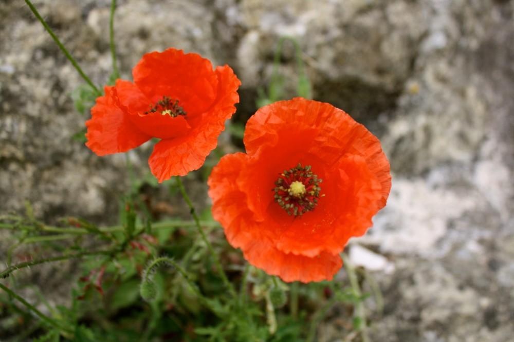 Poppies at the Covento de Cristo in Tomar, Portugal