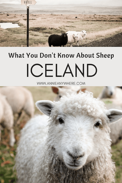 What You Should Know About Sheep in Iceland | Annie Anywhere
