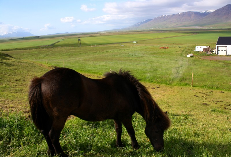 Funny fact: Icelandic horses are poneys