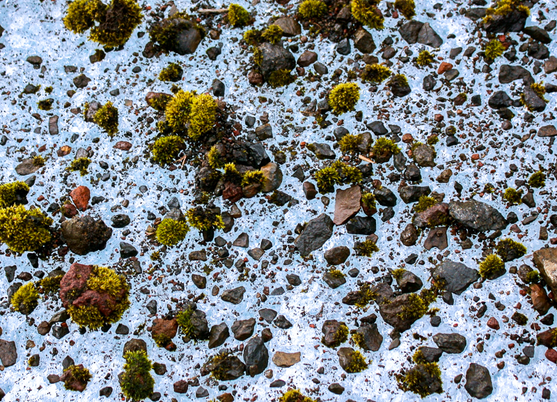 Souris de glacier, seul organisme vivant sur un glacier.
