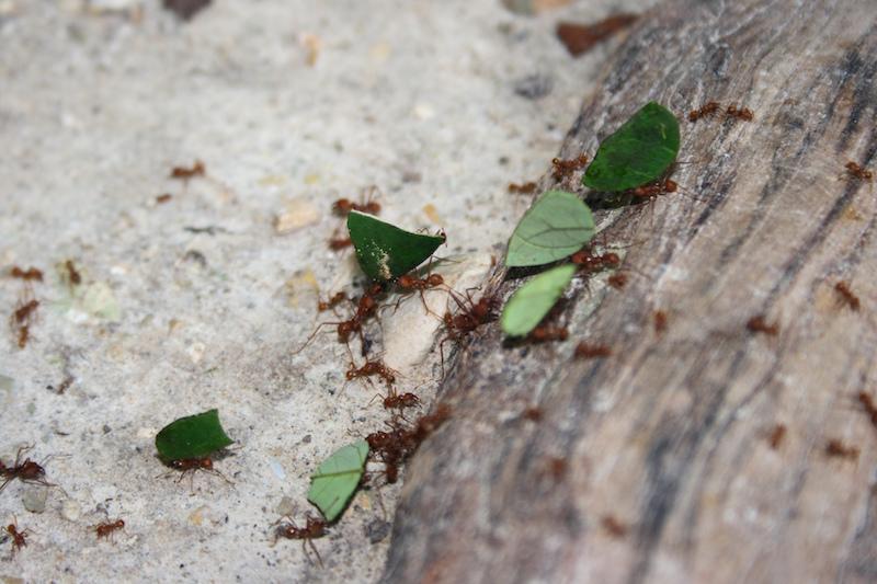 Fourmis dans la randonnée ATM Cave au Belize