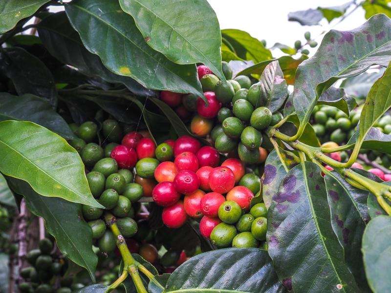 Plantations de café dans le village de San Juan La Laguna, Guatemala
